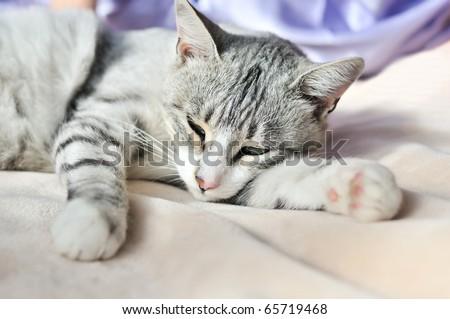 lazy gray cat dozing on the sofa