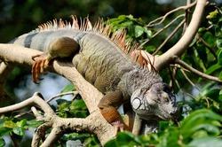 Lazy iguana lay on the tree