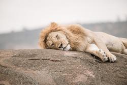 Lazy Lion on the Rock