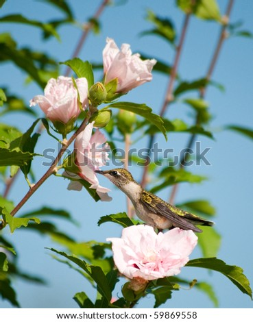 stock-photo-lazy-little-hummingbird-sitting-on-an-althea-flower-reaching-out-to-feed-59869558.jpg