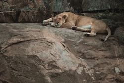 Lazy lock down in Corona time. Lioness sleeping on the rocks in masai mara, kenya.