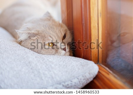 Lazy lovely fluffy cat lying near the window on the pillow. Beige tabby cute kitten with beautiful eyes relaxing on window sill. Friend of human. Animal lover.