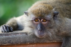 lazy Monkey relaxing on handrail at Malalysia, detailed fingers and eyes, direkt eye contact