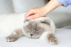 Lazy  scottish fold  cat with woman's hand on a gray background. World Pet Day. Female hand stroking a sleeping  beige cat
