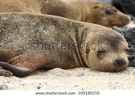 Lazy sea lion