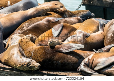 lazy sea lions at san francisco pier 39, california #723324154