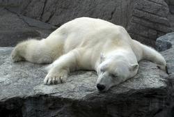 lazy sleeping polar bear