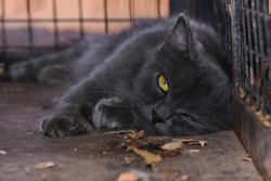 Lazy / Sleepy Black cat staring with golden yellow eyes. Cat in the cage with rage and sadness in eyes.. Captive cat. Cruelty against animals. Symbol of bad luck, good fortune, evil omens, ghosts