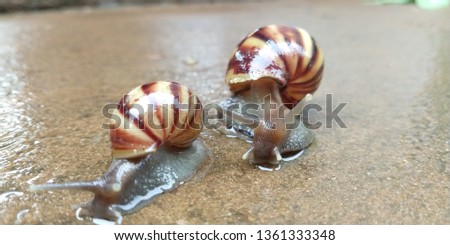 lCaramujo, cornetinha [1] or burrié is a mollusc aquatic gastropod. It has the spiral shell, with the turns or turns in the same plane, receiving, therefore, the denomination of planorbídeo. #1361333348