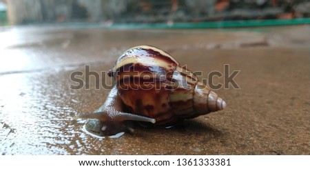 lCaramujo, cornetinha [1] or burrié is a mollusc aquatic gastropod. It has the spiral shell, with the turns or turns in the same plane, receiving, therefore, the denomination of planorbídeo. #1361333381