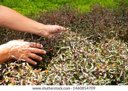 Le mani della gente senior, donna caucasica con capelli grigi si prende cura delle piante nel giardino che aspetta la fioritura, colore verde. all'aperto