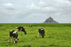 Le Mont-Saint-Michel (Normandy, France): view of the historic town and cows at pasture in foreground