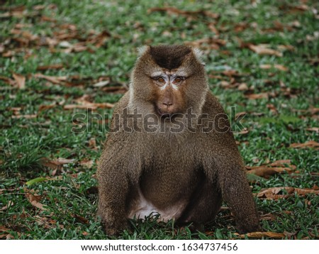 Leader of the troop eyeing our present. Pig-tailed macaque at Khao Yai National Park, Thailand