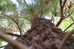 Leading dan depth of field pine tree bark texture