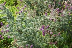 Leadplant (Amorpha canescens). Called Downy indigo bush, Prairie shoestring and Buffalo bellows also