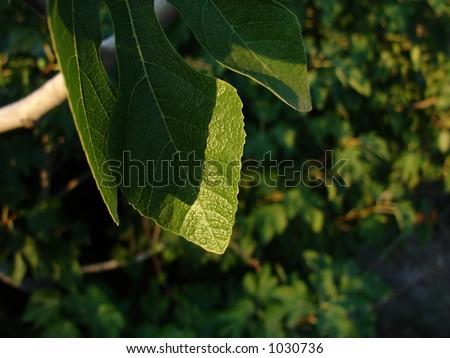 leaf Foto stock ©