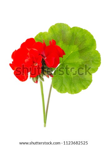 Leaf and red flower of Pellargonium isolated on white background. Studio Photo