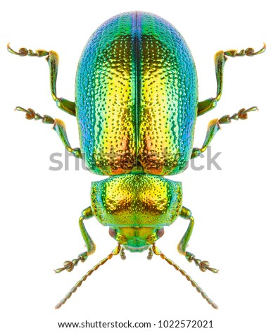 Leaf beetle Chrysolina graminis isolated on white background, dorsal view of beetle. Beautiful green insect tansy beetle.