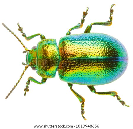 Leaf beetle Chrysolina graminis isolated on white background, dorsal view of beetle. Tansy beetle. #1019948656