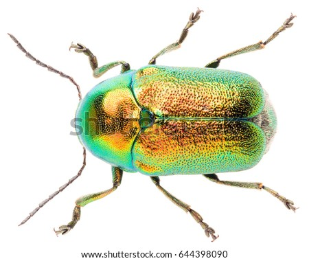 Leaf beetle Cryptocephalus sericeus isolated on white background, dorsal view of beetle. Cylindrical leaf beetle.