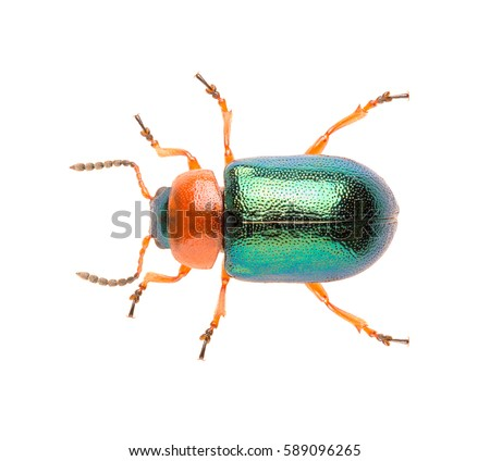 Leaf beetle Gastrophysa polygoni isolated on white background, close up of beetle. Knotweed Leaf Beetle