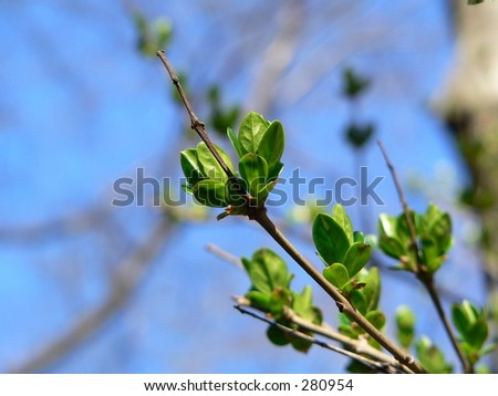 Leaf bud and new leaves on a branch in spring
