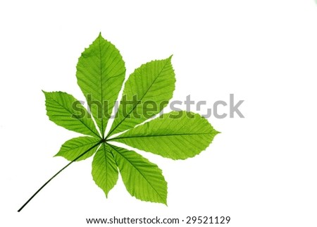leaf chestnut on white background