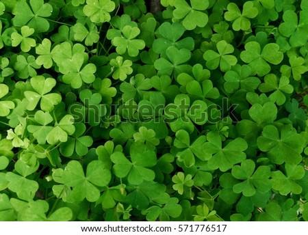 Leaf clover #571776517