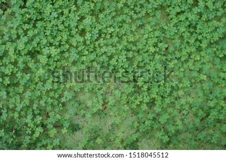 leaf clover , Lucky leaf , Four Leaf Clover #1518045512