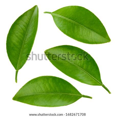 Leaf collection. Leaf citrus clipping path. Organic orange leaf macro studio photo.