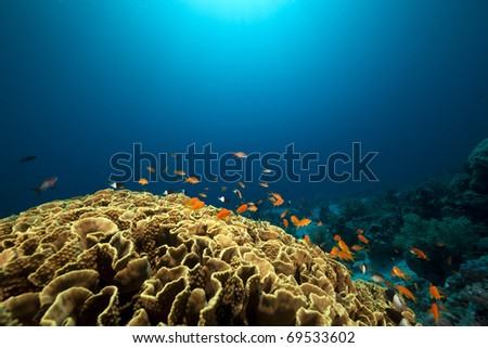 Leaf coral and fish in the Red Sea.