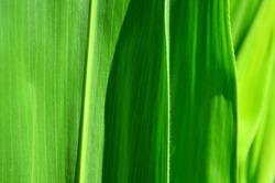 Leaf corn macro