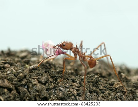 Leaf-cutter ant, Acromyrmex octospinosus, carrying flower petal in front of blue background