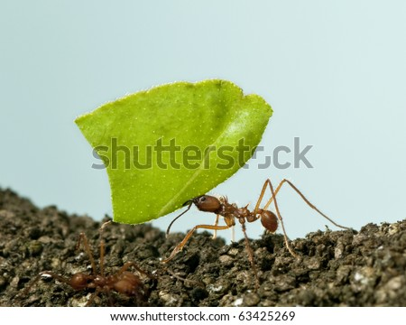 Leaf-cutter ant, Acromyrmex octospinosus, carrying leaf in front of blue background