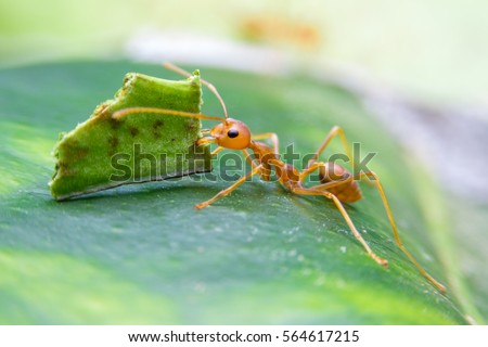 Leaf-cutter ant, Acromyrmex octospinosus, carrying leaf piece on tree log stock photo