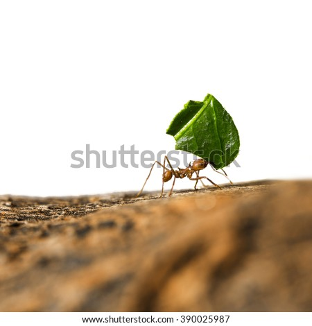 Leaf-cutter ant, Acromyrmex octospinosus, carrying leaf piece on tree log. Isolated on white background. #390025987