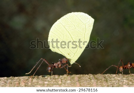 Leaf Cutter Ant (Atta sp.) in Ecuador