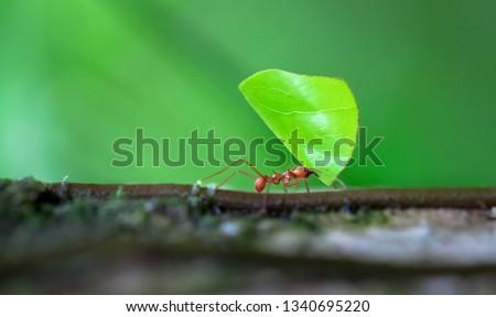 Leaf-cutter ant (Atta sp.) near Puerto Viejo de Sarapiqui, Costa Rica. stock photo