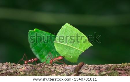 Leaf-cutter ant (Atta sp.) near Puerto Viejo de Sarapiqui, Costa Rica. #1340781011