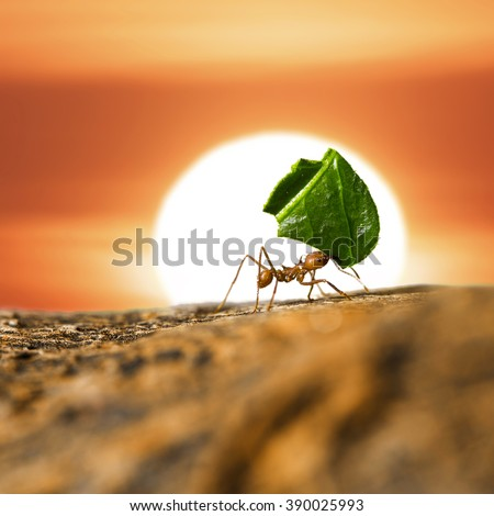 Leaf-cutter ant carrying leaf piece on tree log on sunset sky background. #390025993