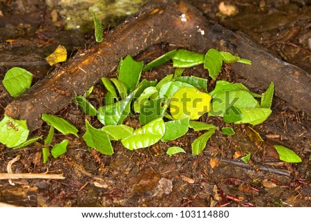 Leaf cutter ants, Atta, in Amazon rainforest.