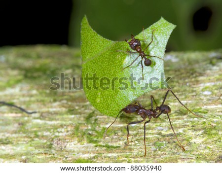 Leaf cutter ants (Atta sp.) There are small workers termed minims riding on the leaf. These defend it from parasitic flies.