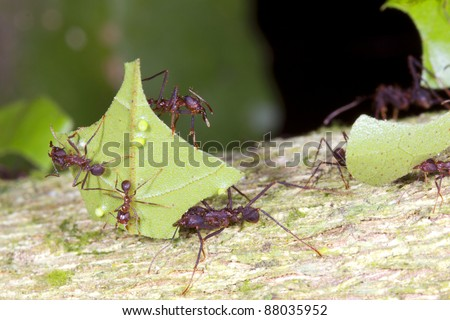 Leaf cutter ants (Atta sp.) There are small workers termed minims riding on the leaf. These defend it from parasitic flies. stock photo