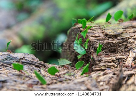 Leaf Cutter Ants Carrying Green Leaves in Tambopata National Reserve, Amazon Rainforest, Peru stock photo