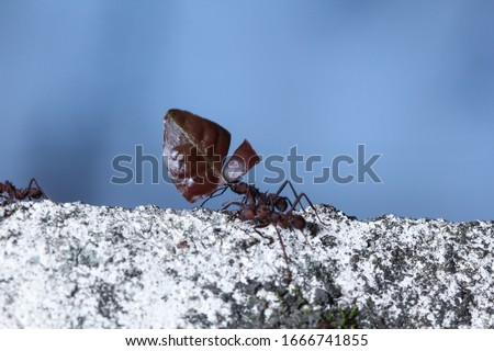 Leaf cutter ants, carrying leaf, black and blue background stock photo