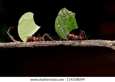 Leaf cutter ants, carrying leaf, black background.
