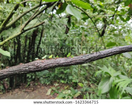 leaf cutter ants carrying leaves and transporting them stock photo