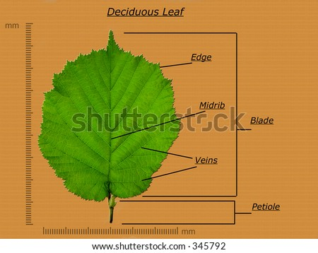 Leaf Chart http://www.shutterstock.com/pic-345792/stock-photo-leaf-diagram.html