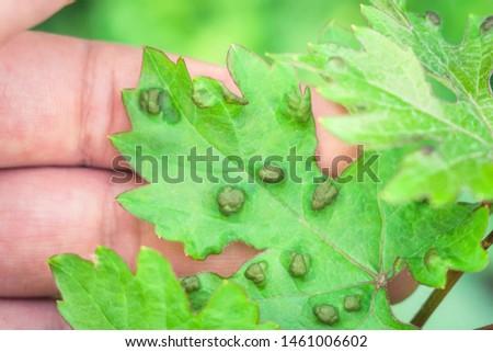 leaf disease of grapes horticulture vineyard #1461006602