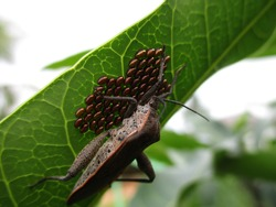 Leaf-footed bugs guard eggs on the leaves during the breeding